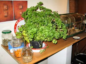 Picture of the parsley I got for Lucy.