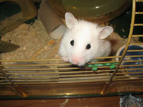 Picture of my hamster Lucy, being ultra cute!
