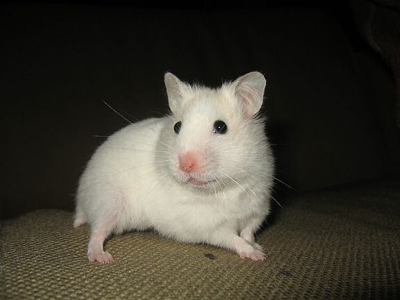 Picture of my hamster Lucy posing on the couch.