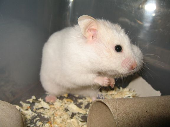 Picture of my hamster Lucy with a pouch stuffed with Vitakraft Rondis.