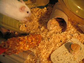Picture of my hamster Lucy enjoying her Micro-Cheeseburger.