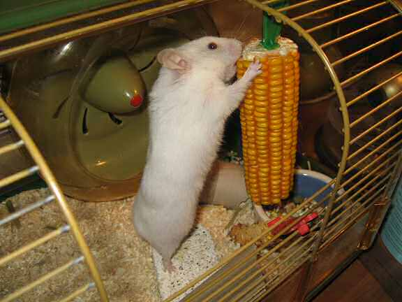 Picture of my hamster Lucy plundering a huge corn.