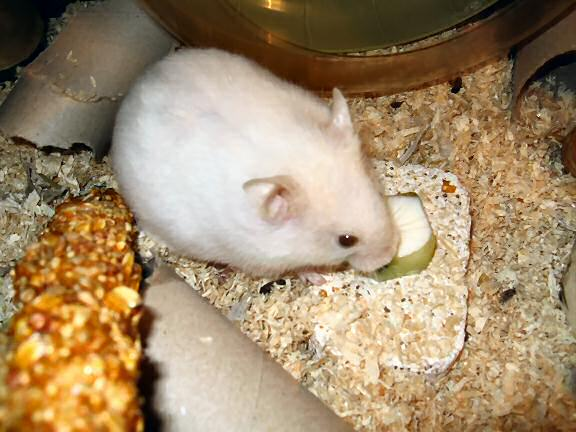Picture of my hamster Lucy enjoying her yoghurt in a cucumber bowl.