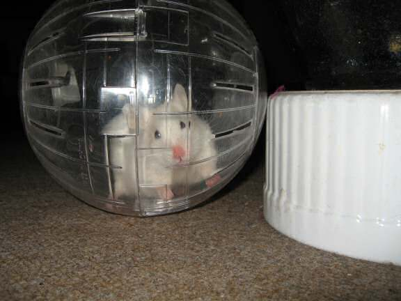 My hamster Lucy in her Explorer Ball!