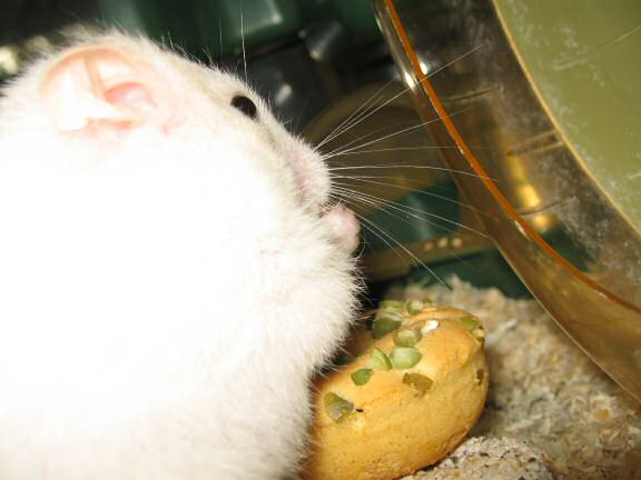 My hamster Lucy having her first Vitakraft Donut.