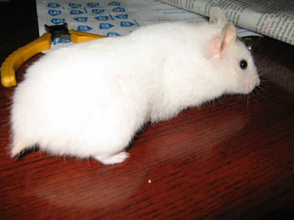 Picture of my hamster Lucy explorin' the coffee-table.
