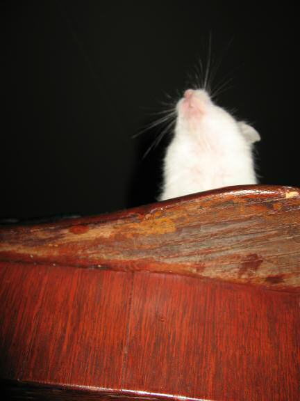 My hamster Lucy as seen from under the coffee-table.
