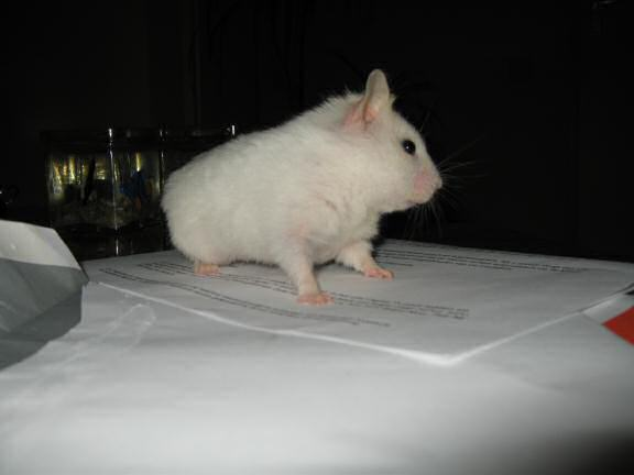 My hamster Lucy checkin' up on the mail on the coffee-table!