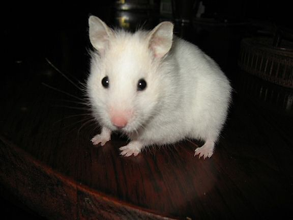 My hamster Lucy being cute on the coffee-table again.