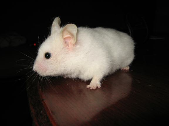 My hamster Lucy on the coffee-table.
