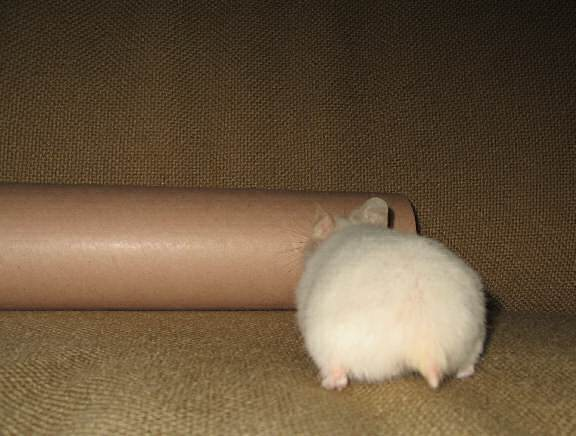 My hamster Lucy on the couch with a poster-tube.