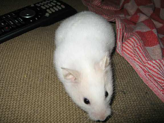 My hamster Lucy on the couch, playing her trick.