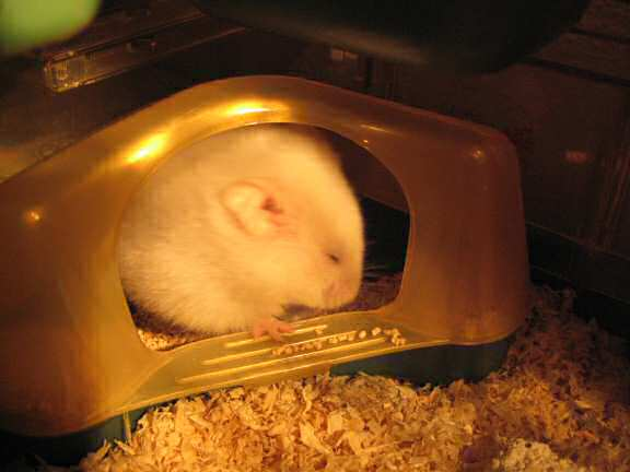 My hamster Lucy in a private moment.