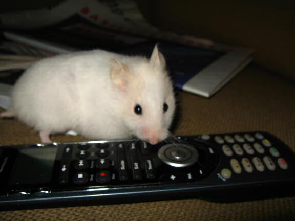 My hamster Lucy wanting to watch TV.