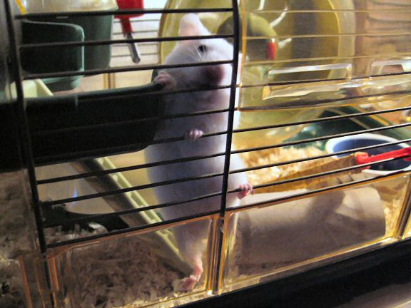 My hamster Lucy climbing in her cage.