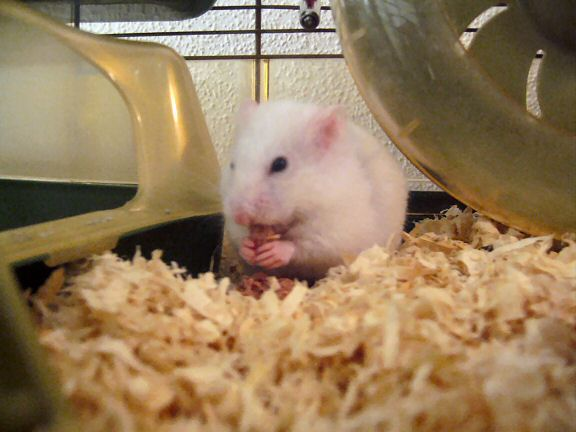 My hamster Lucy eating a catfood snack.