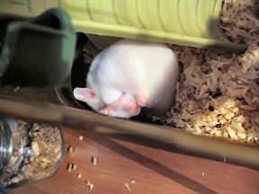 My hamster Lucy having an itch.