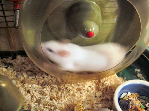 Picture of my hamster Lucy running in her treadmill.