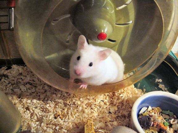 Picture of my hamster Lucy resting a moment after a run in her treadmill.