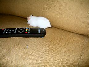 Picture of my hamster Lucy on my couch.