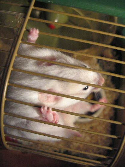 Picture of my hamster Lucy hanging in her cage.