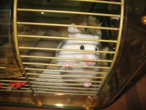 Picture of my hamster Lucy beggin' to get out of her cage.