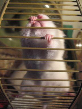 Picture of my hamster Lucy demanding to get out of her cage.