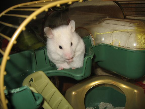 Picture of my hamster Lucy grooming.