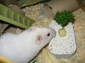 Close up of my hamster Lucy: 'It smells kind o' nice!'