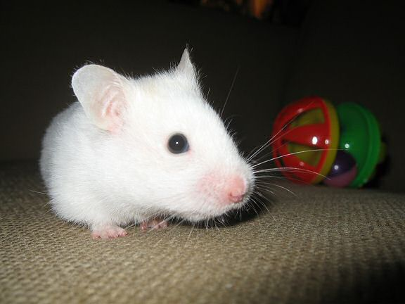 Picture of my hamster Lucy walking away from the Jingle Dumbell.