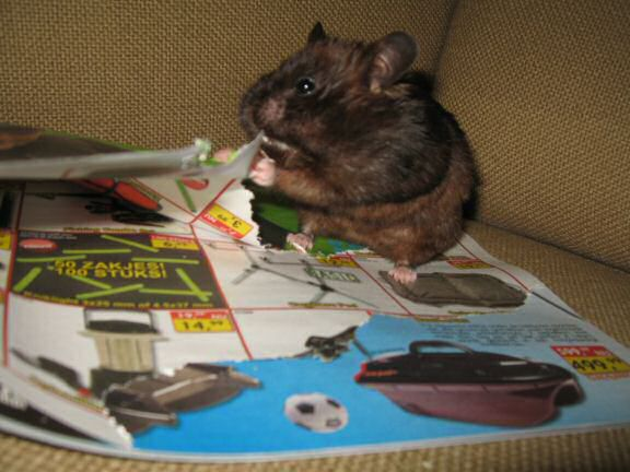 My hamster Lucy's AS my personal (little) shredder, in action ...