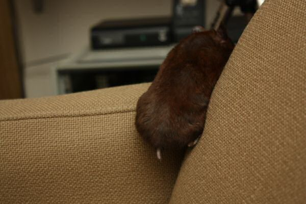 Watching TV with my hamster Lucy.