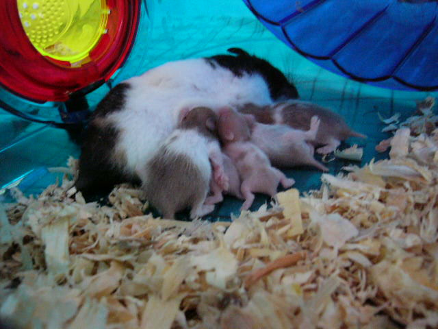 HamsterfanSite.com Nany, taking care of her pups.