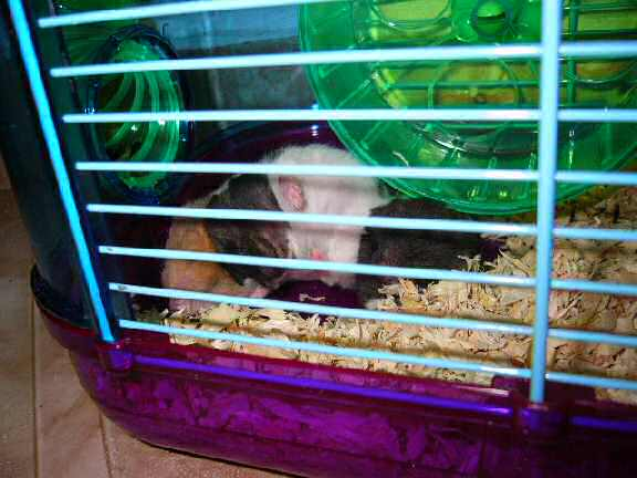 Jose and Yoly's hamsters, Piu and Kiry's - hamster babies.