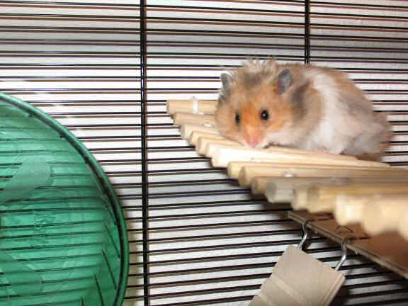 Meet Psusennes, the hamster from Germany.